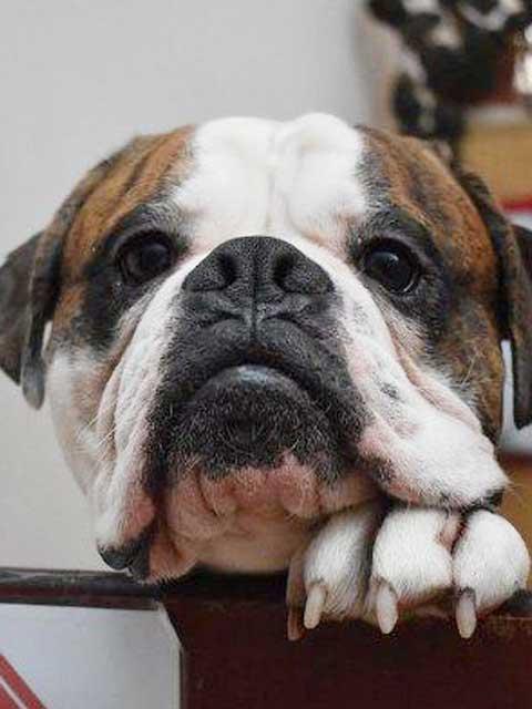 Bronson is a boisterous Boxer, Bulldog cross.