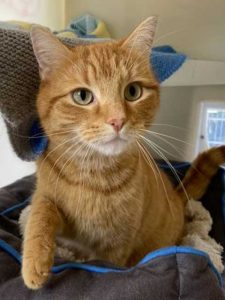 Bertie the lovely male ginger short-haired cat looking for a new home.