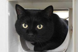Blackie the stray friendly black male cat in need of a new home.