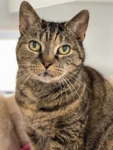 Charlie the female tabby looking for a new home