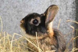 Coco the male black and tan, Netherland dwarf rabbit.