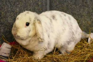 Cookie the sweet female white and grey lop rabbit.