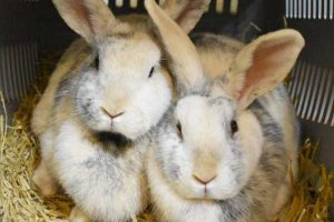 Cottontail and Tin tin the female Harlequinn rabbits.