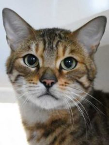 Digger the Bengal cat looking for a new home