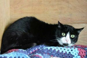 Jess is is a shy friendly and black and white female cat.