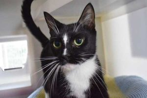 Luna the lovely black and white cat currently being cared for in one of our cat pods.