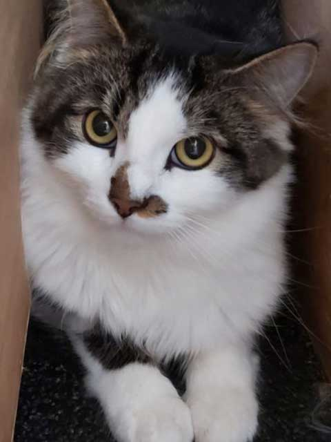 Maverick a young male tabby and white domestic short hair looking to be rehomed