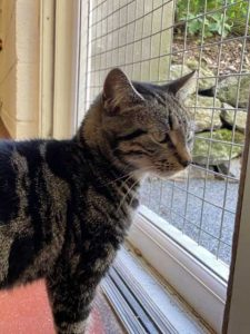Munchkin the tabby cat in need of a new home