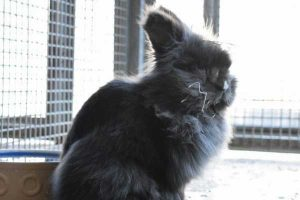 Oreo the friendly male black lionhead rabbit in need of a new home.