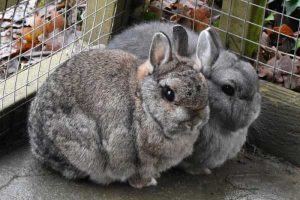 Percy and Doris the lovely Netherland dwarf rabbits.