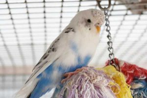 Peta is a white and blue male budgie in need of a new home.