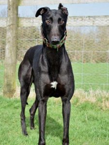 One of our lovely ex-racer Greyhounds