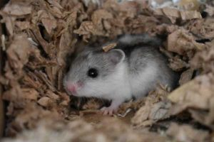 Sandy the Chinese dwarf hamster looking for a new home..