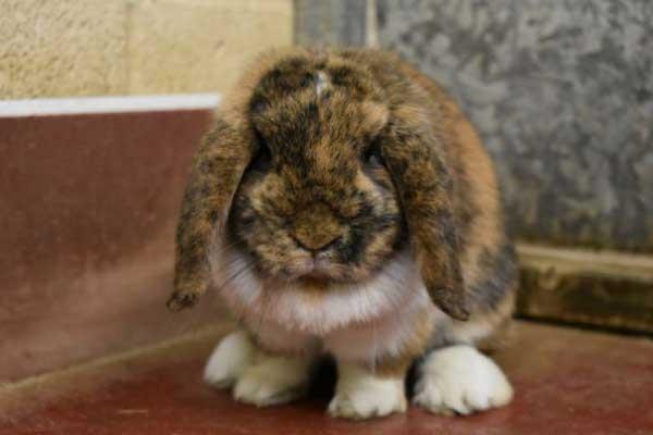 Scrabble the female tortie and white mini lop rabbit.