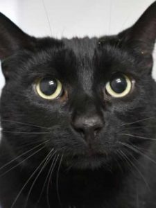 Shadow the shy black cat in need of a new home