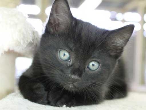 Little black kitten with big bright eyes