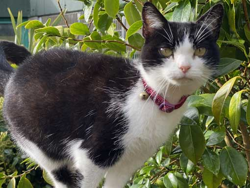 A little black and white cat with a pink collar