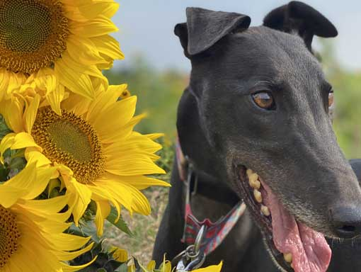 Black Lurcher and sunflowers
