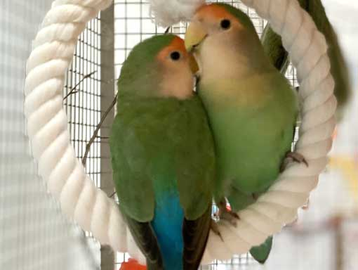 Little Parrotlet's cuddled on a circular rope