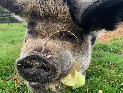 Pig eating vegetables