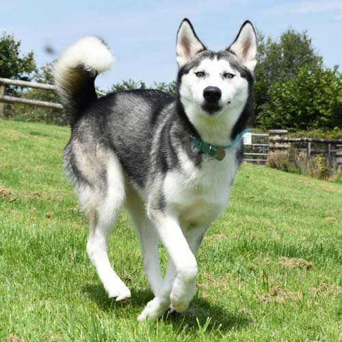 Skye the Husky saying thank you for the monthly donation