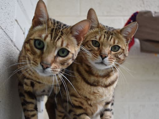 Buzz and Woody our resident cats hoping you will sponsor P.A.W.S