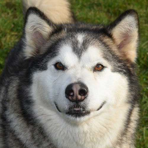 Loki the Malamute hoping you will sponsor us