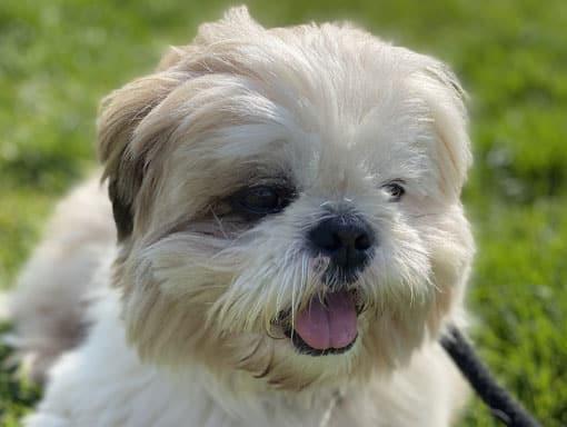 A lovely little white dog enjoying the grass