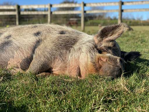 One of our pigs in paradise