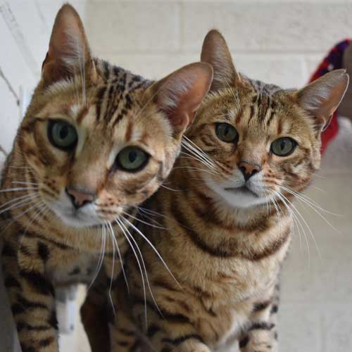 Buzz and Woody, our resident cats thanking you for your P.A.W.S sponsorship.
