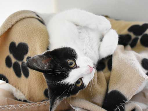 Smartie the cat on his blanket