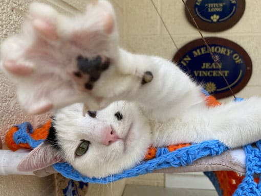 One of our cats with an outstretched paw at the Sunnyside Cat Unit