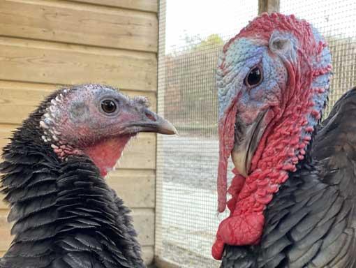 Our resident turkeys Paul & Linda hoping you will sponsor us
