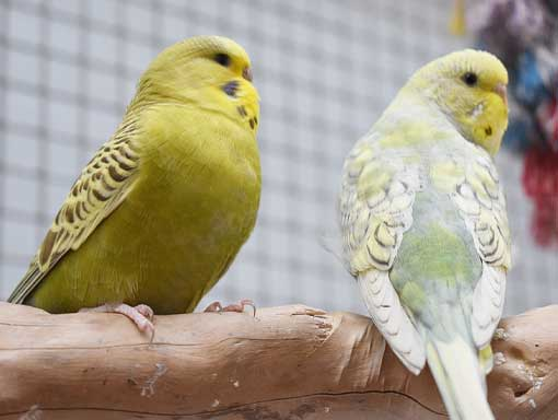 Two yellow budgies at our Tweet Retreat