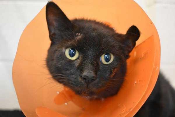 Dippy the female short-haired black cat.