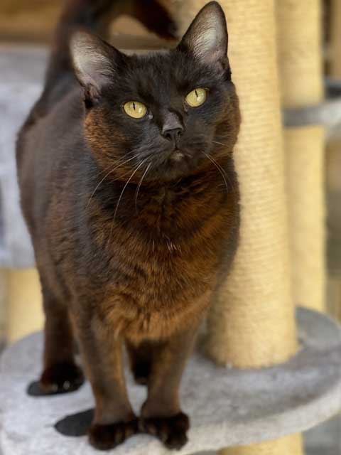 Flash, a lovely black male cat in need of sponsorship.