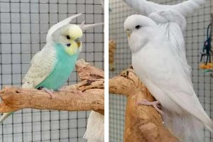 Marmite and Twizzler, a pair of young adult male Budgies looking for a new home.