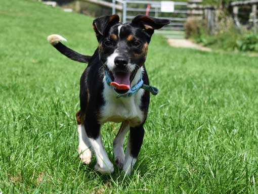 Oreo the dog running